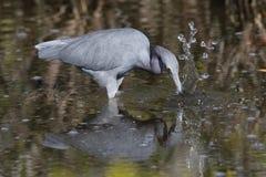 Héron de petit bleu pêchant un poisson - Merritt Island, la Floride Image libre de droits