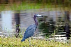 Héron de petit bleu, ville la Floride de paume images libres de droits