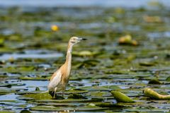 Héron de Squacco sur waterlily le champ photo libre de droits