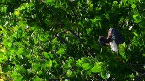 Héron de Tricolored lissant ses clavettes Connu en Amérique du Nord comme la Louisiane ou petit héron banque de vidéos
