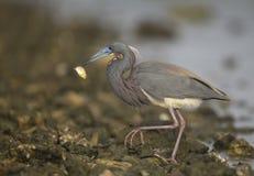 Héron de Tricolored mangeant des poissons Photographie stock