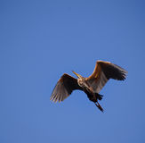 Héron de vol Image libre de droits