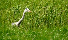 Héron entre l'herbe recherchant la nourriture dans un fossé image libre de droits