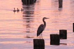 Héron et coucher du soleil de bleu grand photographie stock