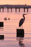 Héron et coucher du soleil de bleu grand photo stock