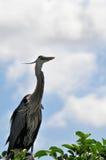 Héron et jeunes de grand bleu adulte dans le nid Image libre de droits
