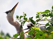 Héron et jeunes de grand bleu adulte dans le nid Photos stock