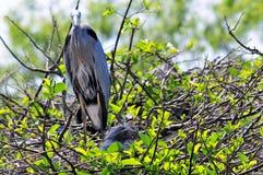 Héron et poussin de grand bleu adulte dans le nid Image libre de droits