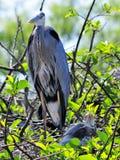Héron et poussin de grand bleu dans le nid Photo libre de droits
