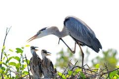 Héron et poussins de grand bleu adulte dans le nid Images stock