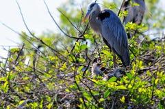 Héron et poussins de grand bleu dans le nid Images stock