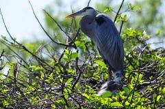 Héron et poussins de grand bleu dans le nid Images libres de droits