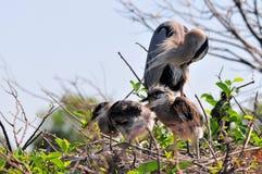 Héron et poussins de grand bleu dans le nid Photos stock