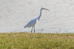 Héron, garzetta blanc d'egretta, pataugeant un rivage d'étang images libres de droits