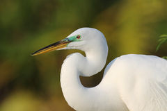 Héron grand (Ardea alba) Photo stock