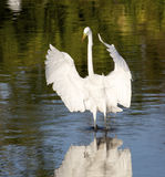 Héron grand, Ardea alba Photo stock