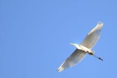 Héron grand (Ardea alba) en vol Image libre de droits
