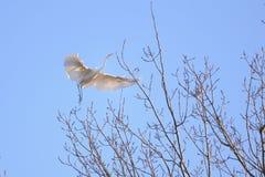 Héron grand (Ardea alba) en vol Image stock