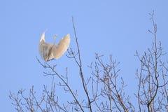 Héron grand (Ardea alba) en vol Photographie stock