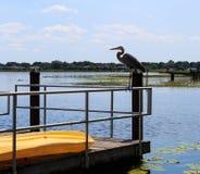 Héron grand détendant sur le lac d'eau douce à Oxford FL Photos libres de droits