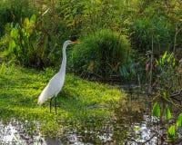 Héron grand dans le marais photo libre de droits