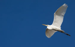 Héron grand en vol contre le ciel bleu Photographie stock
