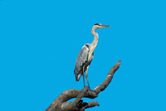 Héron gris images libres de droits