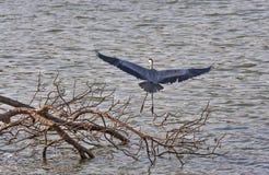 Héron gris Photo libre de droits