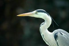 Héron gris. Photos libres de droits