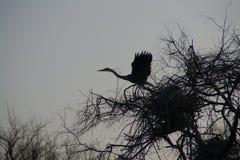 Héron gris Photographie stock libre de droits