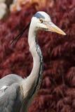 Héron gris Image libre de droits
