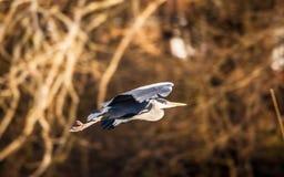 Héron gris Photos stock