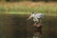 Héron gris - Ardea cinerea - avec des poissons sur le tronçon images libres de droits