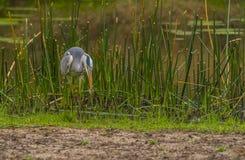 Héron gris, Ardea cinerea, pêchant un poisson, parc national de Kruger photo stock