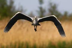 Héron gris en vol photo stock