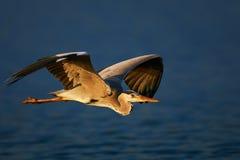 Héron gris en vol Image libre de droits