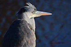 Héron gris recherchant son prochain repas photographie stock libre de droits