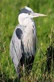 Héron gris se reposant dans le bâti tubulaire Photographie stock