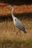 Héron gris sur l'herbe colorée par automne Photos libres de droits