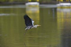 Héron gris volant Photos libres de droits
