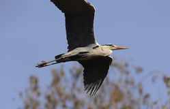 Héron gris volant Image libre de droits