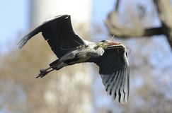 Héron gris volant Photo libre de droits