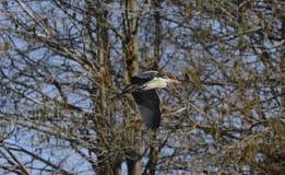 Héron gris volant Photographie stock