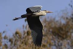 Héron gris volant Images libres de droits