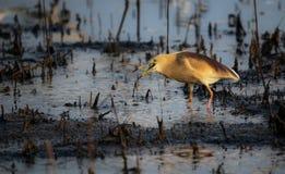 Héron indien d'étang dans le plumage d'élevage Photo stock