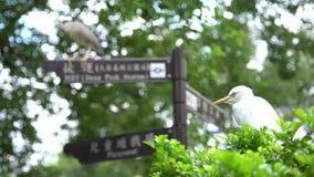 héron 4K et un Egretta blanc Garzetta d'oiseau sur la station de métro de signal du parc banque de vidéos