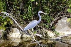 Héron, marais, la Floride photographie stock libre de droits