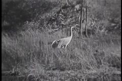 Héron marchant dans l'herbe grande, marais de Forida banque de vidéos