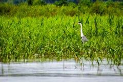 Héron marchant sur le lac parmi la broussaille image stock