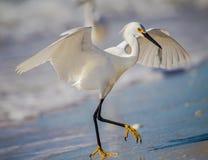Héron neigeux blanc avec le crochet de poisson frais Photographie stock libre de droits